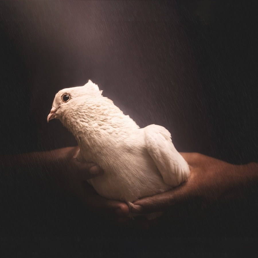 Hands holding a dove with a light shining down on it.