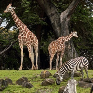 Dos girafas y una zebra en un prado.