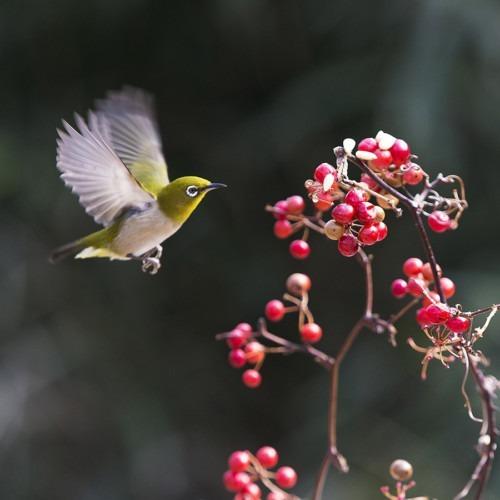 Imagen de un pájaro volando a las bayas por Lee_seonghak de Pixabay