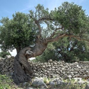 Árbol junto al muro de piedra.