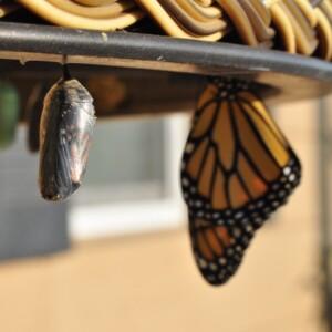 Foto de una crisálida de mariposa y una mariposa de Suzanne D. Williams en Unsplash